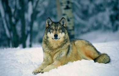 Tema Lobo-cinzento