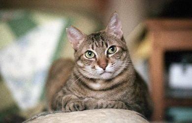 Tema Expressões de Gato